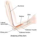 Arm Bones.png