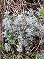 Artemisia austriaca sl8.jpg