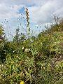Artemisia pancicii sl 7.jpg