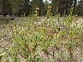 Artemisia rothrockii (7832377578).jpg