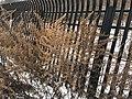 Artemisia vulgaris 107776566.jpg
