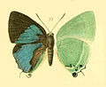 ArtipeDohertyiMOberthur1894.JPG