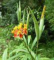 Asclepias curassavica, bloeiwyse en vrugte, Manie van der Schijff BT.jpg
