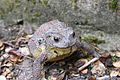 Asiatic toad 2.jpg