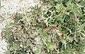 Asparagus Pea, Tetragonolobus purpureus (middle) and Lathyrus inconspicuus. Medina (37725177552).jpg