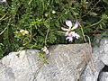 Astragalus alpinus 02.JPG