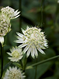Astrantia major.jpg