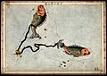 Astrology; signs of the zodiac, Pisces. Coloured engraving b Wellcome V0024927.jpg