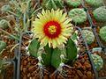Astrophytum flowers 14.jpg
