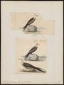 Atagen aquilus - 1700-1880 - Print - Iconographia Zoologica - Special Collections University of Amsterdam - UBA01 IZ18000189.tif