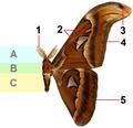 Attacus atlas MandF1basisschema.png