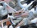 Australian Pelican Food Scramble - Flickr - GregTheBusker.jpg