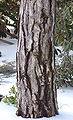 Austrian Pine Pinus nigra Trunk 1700px.jpg