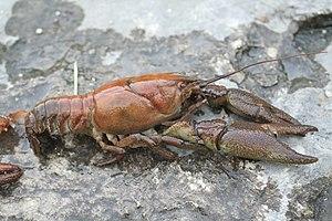 Crayfish - Astacidae: Austropotamobius pallipes