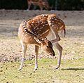 Axishirsch Axis axis Tierpark Hellabrunn-5.jpg