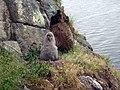 Bébé albatros fuligineux île Kerguelen.jpg