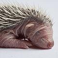 Baby Erinaceus europaeus (9).jpg