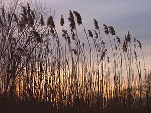 The Fens (Boston, Massachusetts) - Sunset in the Fens viewed through Phragmites australis, a non-native reed. These are considered an invasive species by the US Army Corps of Engineers, which has applied for funds to remove them.