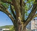 Badenweiler - Kurpark Säulen Eiche (3) Bild 3.jpg