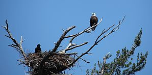 Bald Eagle guarding its nest (5924277825).jpg