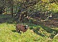 Balwen Black Mountain sheep - Llantwit Major - geograph.org.uk - 1573405.jpg