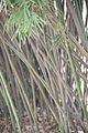 Bamboo (4274177678).jpg
