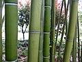 Bamboo 竹子 (5811426013).jpg