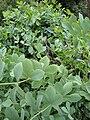 Baptisia australis 1.JPG