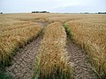 Barley fields south of Haverfield House, Welwick - geograph.org.uk - 198700.jpg