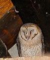 Barn Owl (Tyto alba) (30769094630).jpg