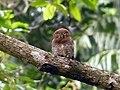 Barred Jungle Owlet-1.jpg