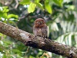 Barred Jungle Owlet-1.jpg