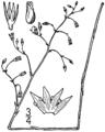 Bartonia paniculata drawing 1.png