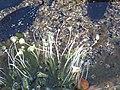 Batophora oerstedi & Acetabularia crenulata green algae (Reckley Hill Pond, San Salvador Island, Bahamas) - 4.jpg