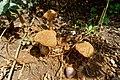 Battarrea phalloides (30551269278).jpg