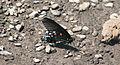 Battus philenor (pipevine swallowtail butterfly) (Mercer County, West Virginia, USA) 1 (17064463509).jpg