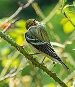 Bay-breasted warbler in Central Park (43444).jpg