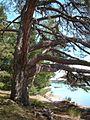 Beach pine.jpg