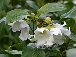 Beaumontia multiflora1SHSU.jpg