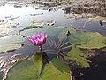Beautiful lotus of india.jpg