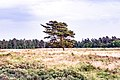 Beautiful pine tree.jpg