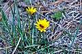 Bee in Daisy (5733782849).jpg
