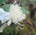 Bee on guava flower.jpg