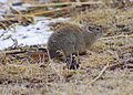 Belding ground squirrel reesman odfw (15618753335).jpg