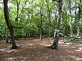 Bentley Priory Hornbeam Wood.jpg