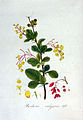 Berberis vulgaris — Flora Batava — Volume v3.jpg