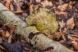 Berkenzwam (Piptoporus betulinus) (d.j.b.) 18.jpg