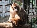 Beruk Mentawai Macaca pagensis sitting.JPG