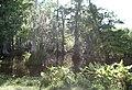 Big cypress.jpg