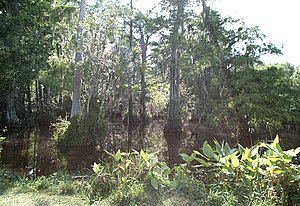 Agkistrodon piscivorus - A cypress swamp in Big Cypress National Preserve, south Florida